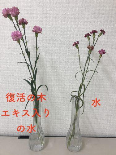 復活の木エキス入り水の花は枯れていないが、普通の水の花は枯れている。