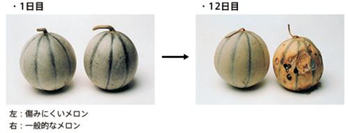 一般的なメロンと痛みにくいメロンの比較